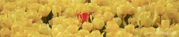 One red tulips emerges defiantly out of a field of yellow