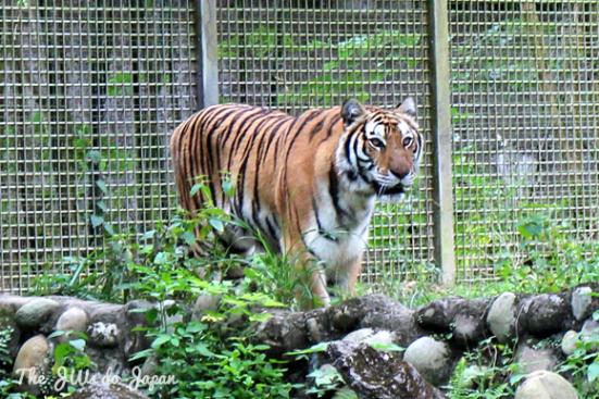 Richard Parker in Taipei Zoo