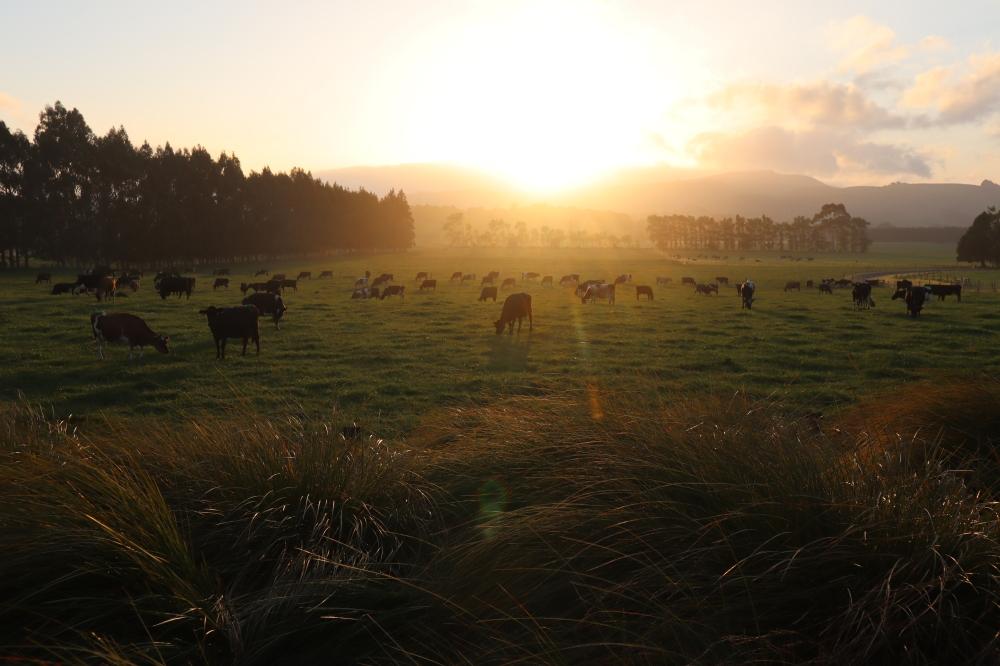 monastery sunrise cows